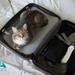 Gato preparándose para viajar con su dueño