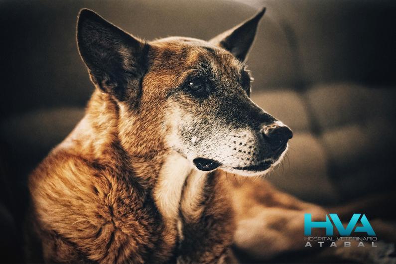 cuidados perro mayor